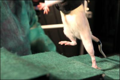 Изолированный участок поврежденного спинного мозга почти сразу «вспомнил», как надо управлять конечностями, и подопытная крыса смогла двигать ногами.
