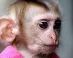 Японцы вернули к нормальной жизни полностью парализованную обезьянку: дело за людьми?.. ХОДИТЬ
