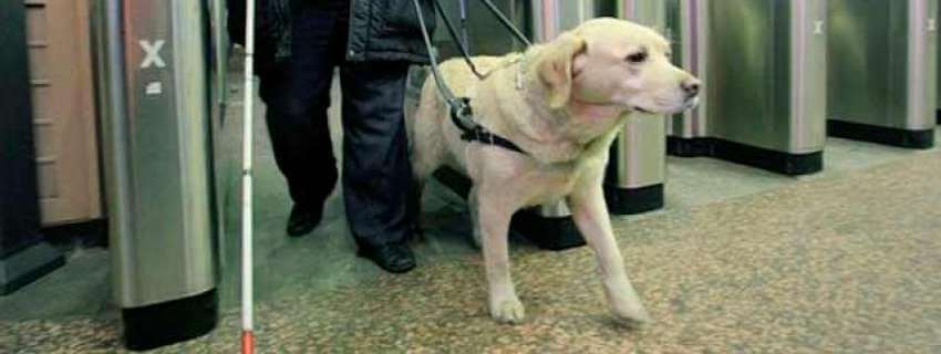 Як адаптувати метро під потреби незрячих з собаками-поводирями?. вади зору, метро, незрячий, собака-поводир, інвалід, dog, animal, floor, indoor, carnivore, standing. A dog standing in a room