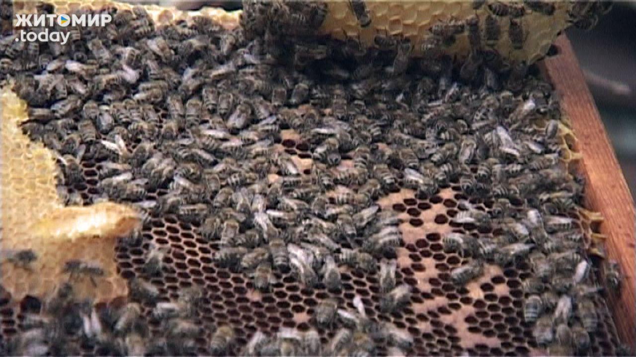 Інвалідність – не завада для бердичівлянина мати пасіку і збирати смачнючий мед (ВІДЕО)