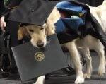 Вмикає світло та подає речі: у США собака-поводир отримав диплом магістра разом із хазяйкою (ВІДЕО). бріттані хоулі, сша, диплом, собака-поводир, інвалідний візок, dog, carnivore, animal, indoor, mammal, puppy, pet. A dog looking at the camera