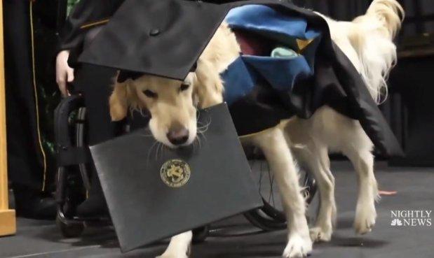 Вмикає світло та подає речі: у США собака-поводир отримав диплом магістра разом із хазяйкою. бріттані хоулі, сша, диплом, собака-поводир, інвалідний візок