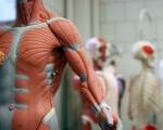 Вчені відкрили невідоме м'язове захворювання: вражає людей середнього віку. bellvitge, захворювання, м'язи, міоглобінопатія, хвороба, person, doll. A person in a costume