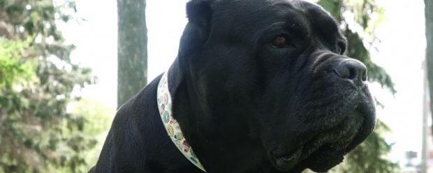 Як змінилося життя чернігівської собаки-каністерапевта Лілу після введення в місті карантину. лілу, чернігів, канистерапия, карантин, собака